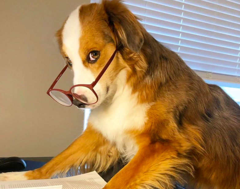 Here's Your New Fave Account, @DogsWorkingFromHome